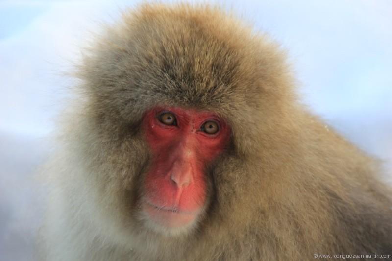 Japón Los Monos De Nieve A Través Del Mundo