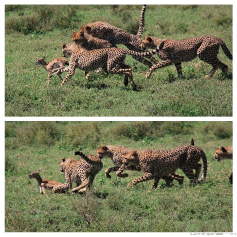 guepardos2